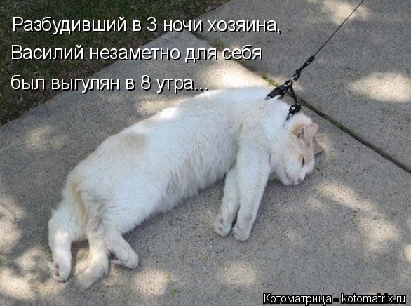 изображение: Разбудивший в 3 ночи хозяина, Василий незаметно для себя был выгулян в 8 утра...... #Котоматрицы