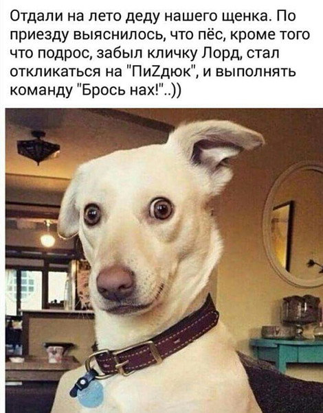 изображение: Отдали на лето деду нашего щенка. По приезду выяснилось, что пёс, кроме того. что подрос, забыл кличку Лорд ,стал откликаться на 'ПиZдюк' и выполнять команду 'Брось нах!' #Прикол
