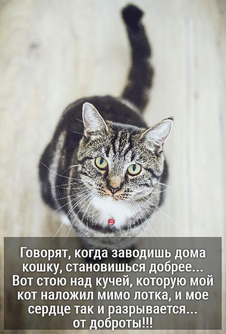 изображение: Говорят, когда заводишь дома кошку, становишься добрее... Вот стою над кучей, которую мой кот наложил мимо лотка, и мое сердце так и разрывается... от доброты!!! #Котоматрицы