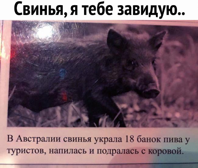 изображение: В Австралии свинья украла 18 банок пива у туристов, напилась и подралась с коровой. - Свинья, я тебе завидую #Прикол