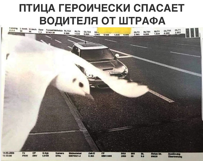 изображение: Птица героически спасает водителя от штрафа #Прикол