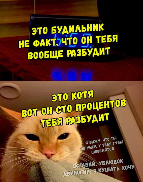 изображение: Это будильник. Не факт, что он тебя вообще разбудит. Это котя, вот он сто процентов тебя разбудит. - Я вижу, что ты не умер, у тебя губы шевелятся. Вставай, ублюдок двуногий, я кушать хочу #Котоматрицы
