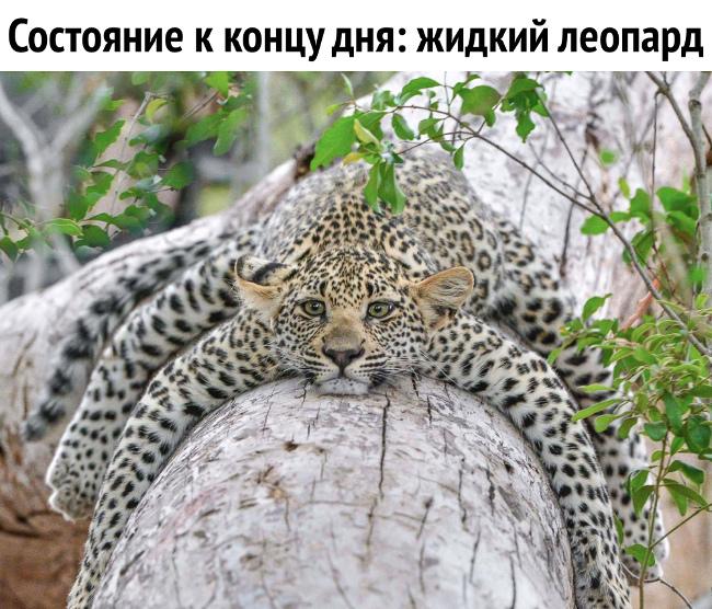 изображение: Состояние к концу дня: жидкий леопард #Прикол