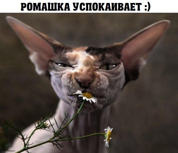 изображение: Ромашка успокаивает #Котоматрицы
