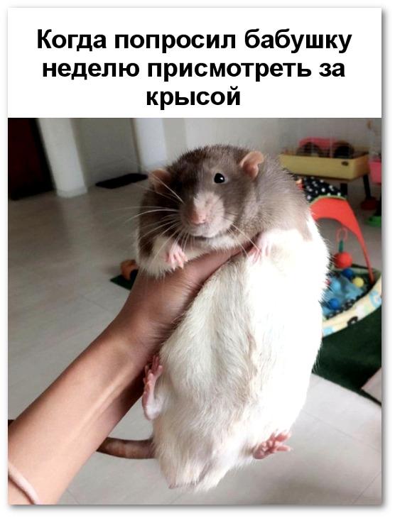 изображение: Когда попросил бабушку неделю присмотреть за крысой #Прикол