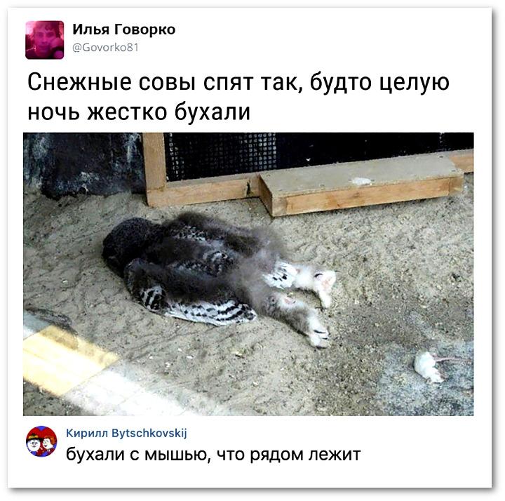 изображение: Снежные совы спят так, будто целую ночь жестко бухали. - Бухали с мышью, что лежит рядом. #Прикол