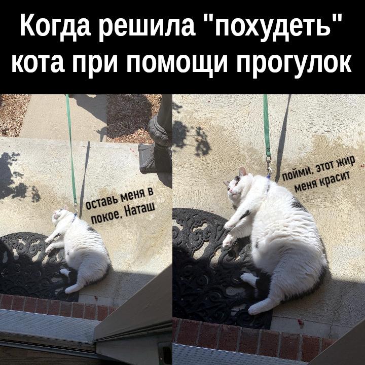 изображение: Когда решила 'похудеть' кота при помощи прогулок. - Оставь меня в покое, Наташ. Пойми, этот жир меня красит. #Котоматрицы