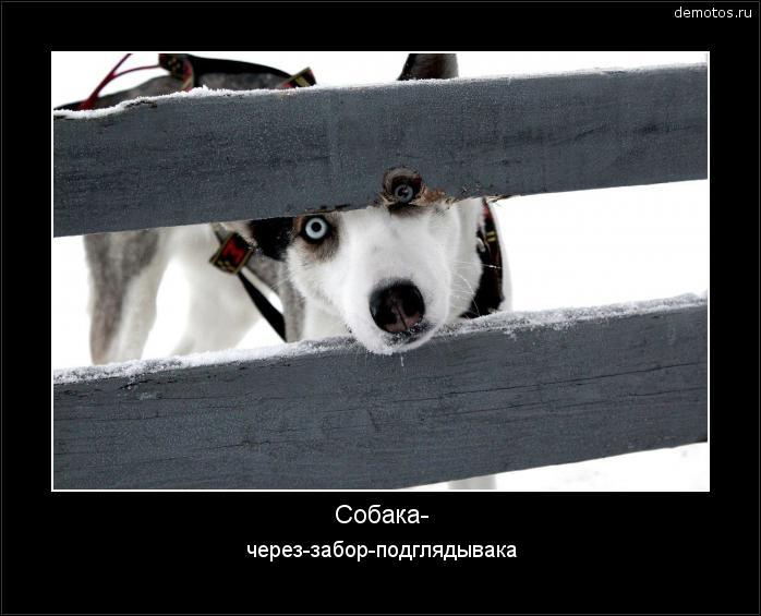Собака- через-забор-подглядывака #демотиватор